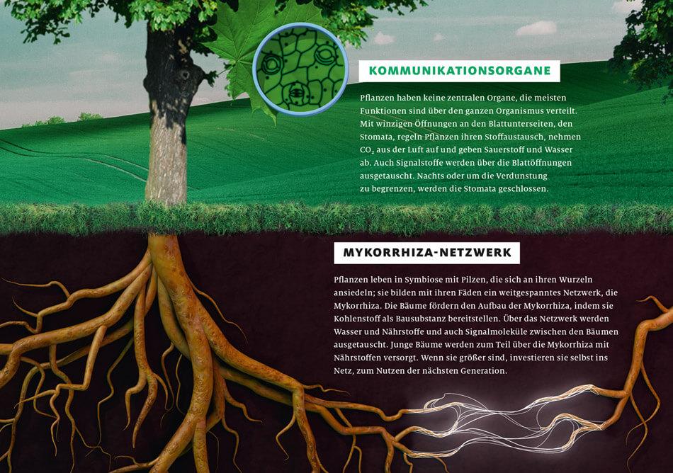 bild der wissenschaft, Ausgabe März 2019 / Infografik: Wie Pflanzen kommunizieren: Kommunikationsorgane & Mykorrhiza-Netzwerk / Daniela Leitner